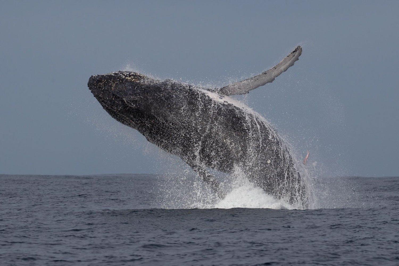 Fotografia pene balena