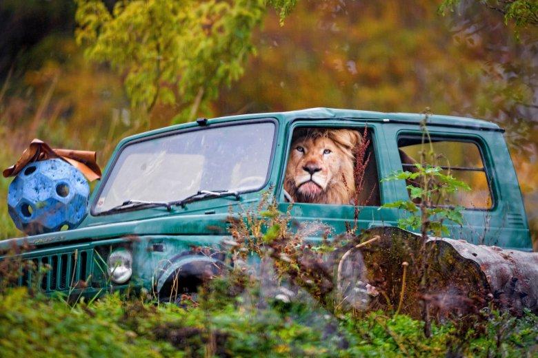 Leone guida jeep