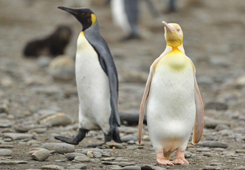 Yves Adams ha fotografato il pinguino giallo