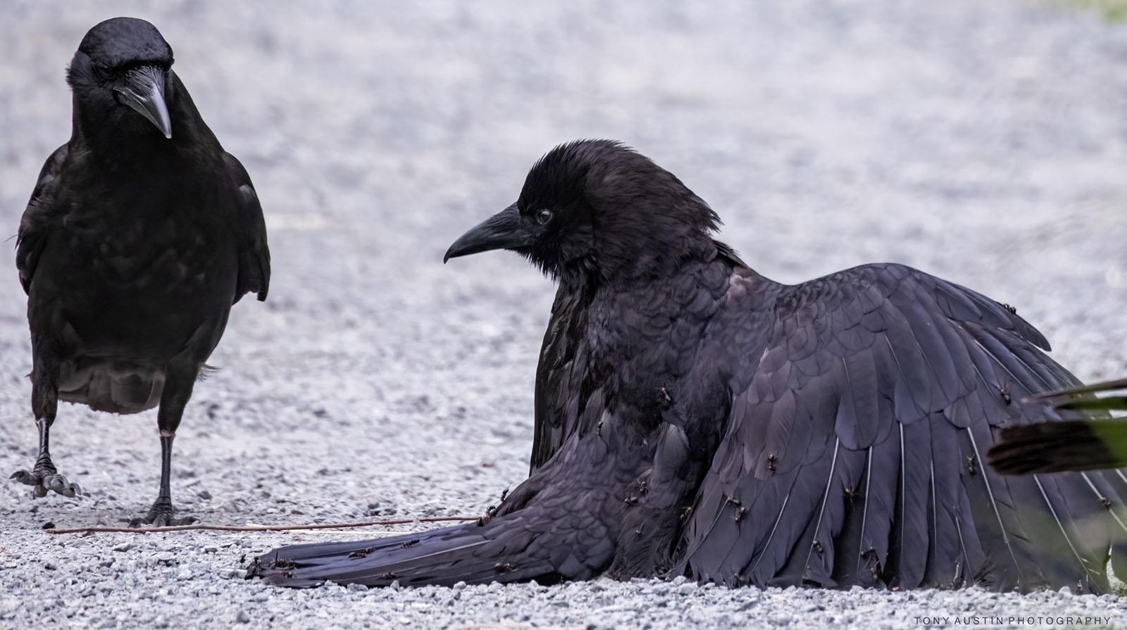 Fotografia corvo ricoperto dalle formiche
